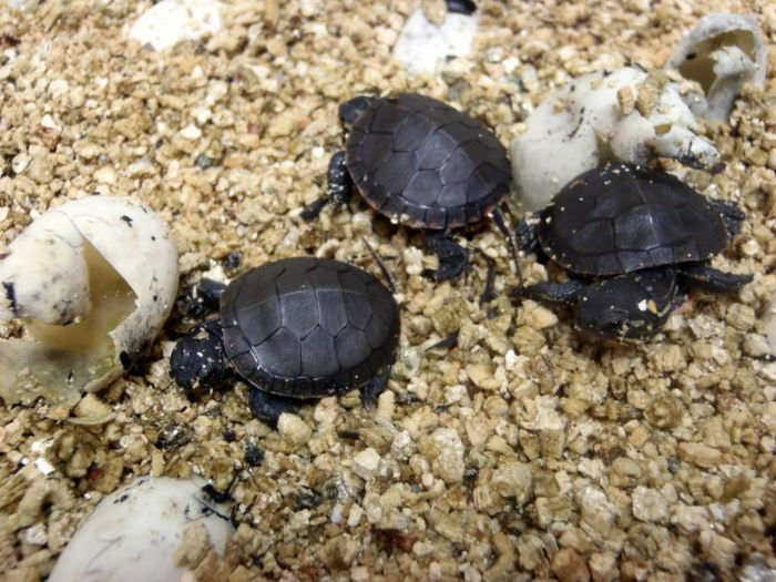 Returning Baby Turtles to the Wild